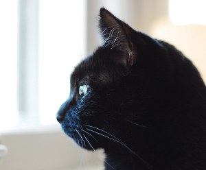 black cat looking on the window